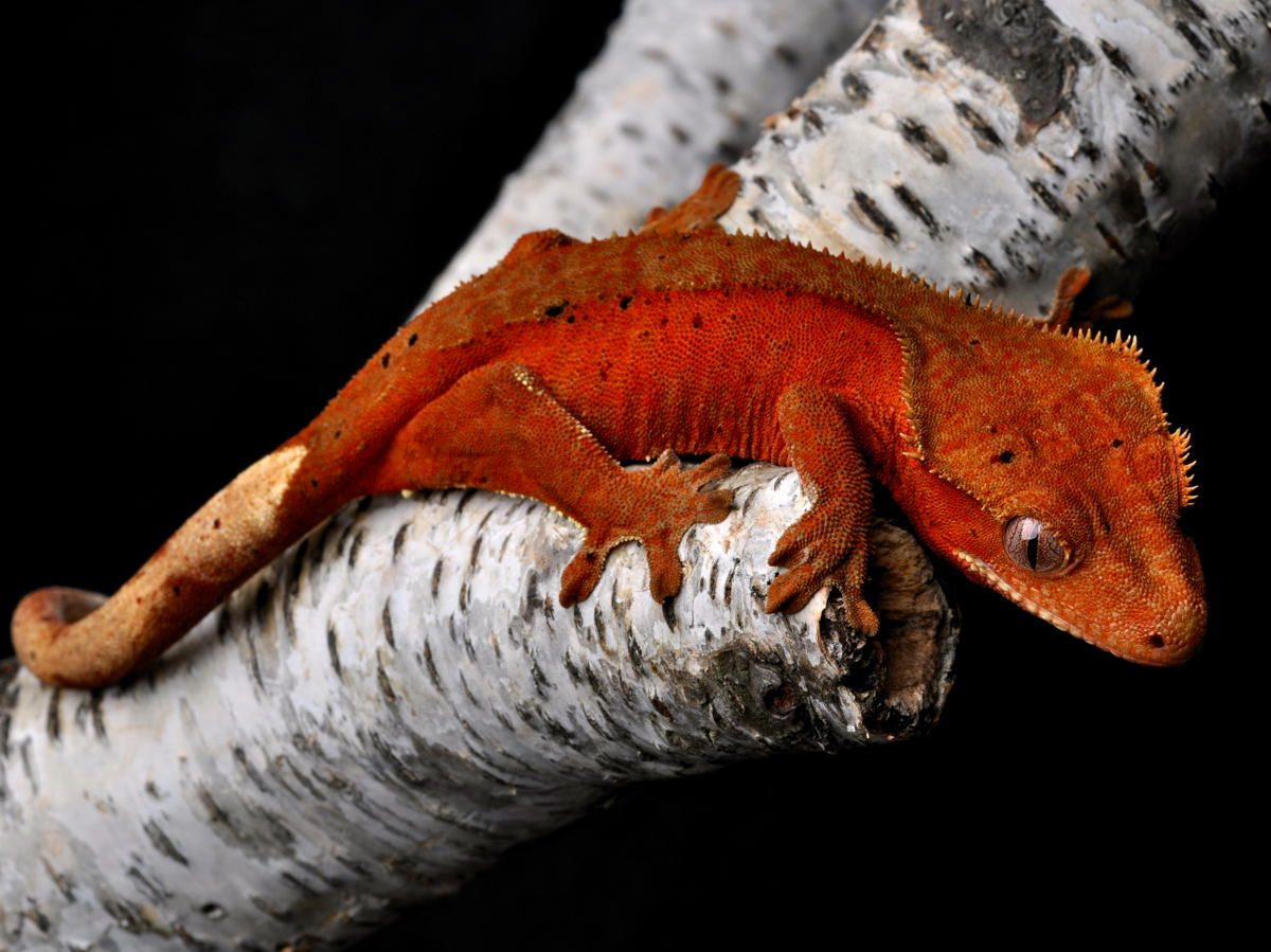 Red Female Dalmatain Crestie