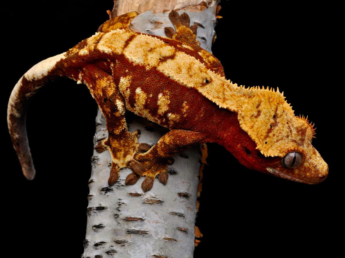 crested geckos on Pint...