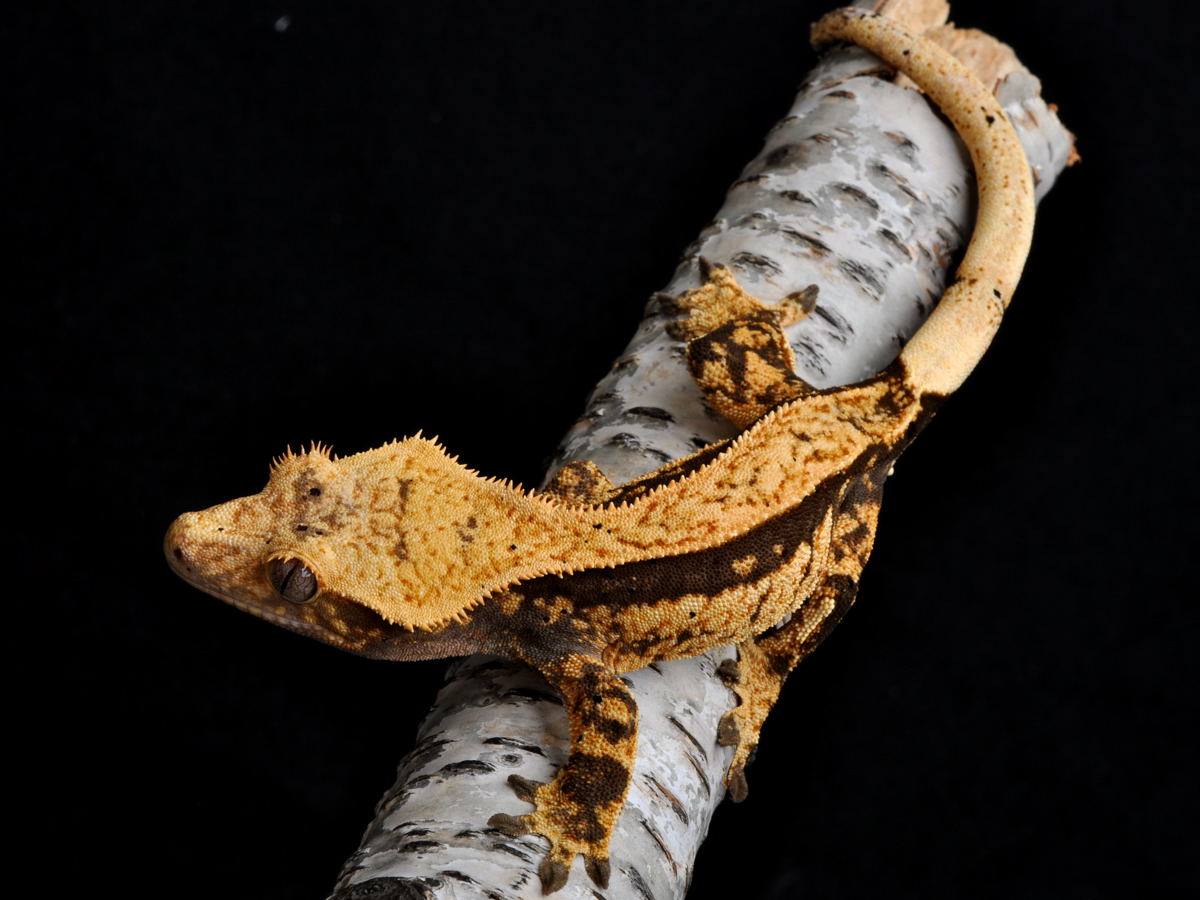 Crested Gecko Morph Guide | The Gecko Geek Chevron marking (this is ...